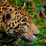 Jaguar Face Belize