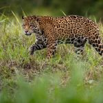 stalking jaguar belize