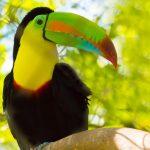 Toucan Belize
